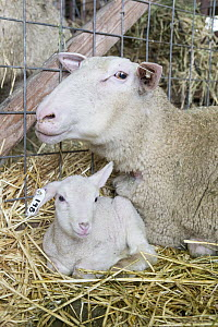 Domestic Sheep (Ovis aries) ewe and newborn lamb inside barn, Sonoma County, California  -  Suzi Eszterhas