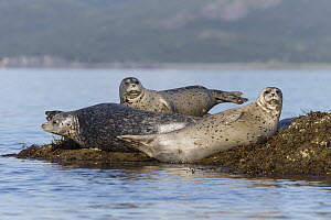 Harbor Seal (Phoca vitulina) group, Katmai National Park, Alaska  -  Suzi Eszterhas