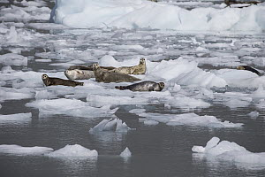 Harbor Seal (Phoca vitulina) group on ice floes, Prince William Sound, Alaska  -  Suzi Eszterhas