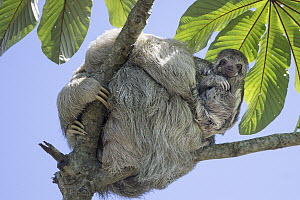 Brown-throated Three-toed Sloth (Bradypus variegatus) mother and baby, Costa Rica  -  Suzi Eszterhas
