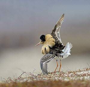 Ruff (Philomachus pugnax) male displaying at lek, Varanger Peninsula, Norway - Winfried Wisniewski