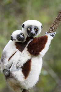 Coquerel's Sifaka (Propithecus coquereli) mother with three month old young, Madagascar - Suzi Eszterhas