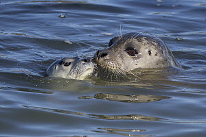 Harbor Seal (Phoca vitulina) mother and pup nuzzling, Monterey Bay, California  -  Suzi Eszterhas