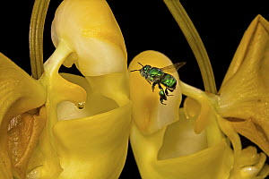 Bucket Orchid (Coryanthes panamensis) flower attracting bee for pollination through scent, Panama - Christian Ziegler