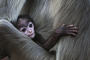 Southern Plains Gray Langur (Semnopithecus dussumieri) newborn with mother, Jodhpur, Rajasthan, India - Fiona Rogers