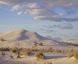 Sand dune and shrubs, White Sands National Park, New Mexico - Tim Fitzharris