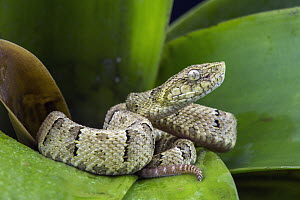 Osborne's Lancehead (Bothrops osbornei) juvenile showing differently colored tail tip used for caudal luring, native to South America  -  Pete Oxford