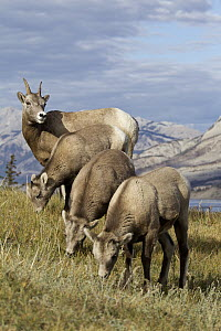 Bighorn Sheep (Ovis canadensis) ewes and lambs grazing, western Canada - Donald M. Jones