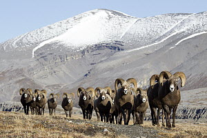 Bighorn Sheep (Ovis canadensis) rams in tundra, western Canada - Donald M. Jones