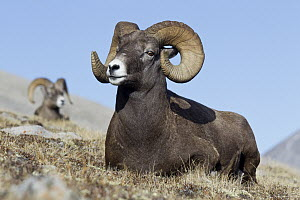 Bighorn Sheep (Ovis canadensis) rams, western Canada - Donald M. Jones