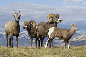 Bighorn Sheep (Ovis canadensis) rams, ewe, and lamb, western Canada - Donald M. Jones
