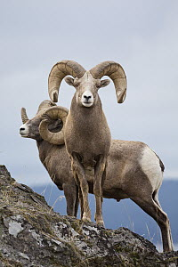 Bighorn Sheep (Ovis canadensis) rams, western Montana - Donald M. Jones