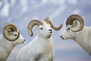Dall's Sheep (Ovis dalli) rams posturing, central Alaska  -  Donald M. Jones