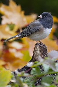 Dark-eyed Junco (Junco hyemalis), western Montana  -  Donald M. Jones