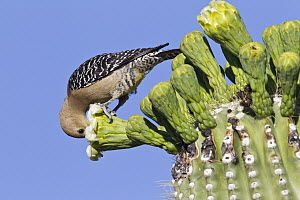 Gila Woodpecker (Melanerpes uropygialis) feeding on Saguaro (Carnegiea gigantea) cactus flower, southern Arizona - Donald M. Jones