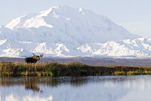 Moose (Alces alces) bull in fall at tundra pond, Mount Denali, Denali National Park, Alaska - Donald M. Jones