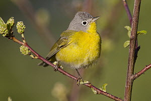 Nashville Warbler (Oreothlypis ruficapilla) male in breeding plumage, western Montana  -  Donald M. Jones