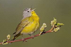 Nashville Warbler (Oreothlypis ruficapilla) male calling in spring, western Montana  -  Donald M. Jones