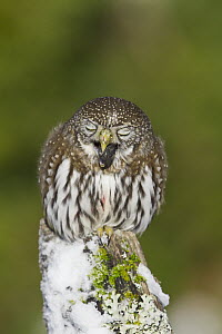 Mountain Pygmy-Owl (Glaucidium gnoma) regurgitating pellet, western Montana  -  Donald M. Jones