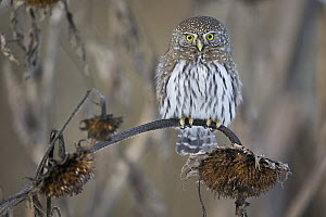Mountain Pygmy-Owl (Glaucidium gnoma), western Montana  -  Donald M. Jones