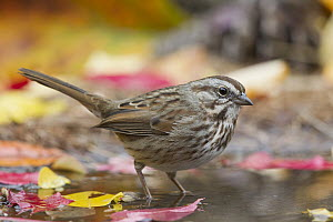 Song Sparrow (Melospiza melodia) at pond, western Montana  -  Donald M. Jones