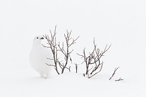 White-tailed Ptarmigan (Lagopus leucura) in winter feeding on buds, western Alberta, Canada  -  Donald M. Jones