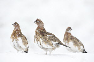 Willow Ptarmigan (Lagopus lagopus) trio in fall, transitioning to winter plummage, central Alaska - Donald M. Jones
