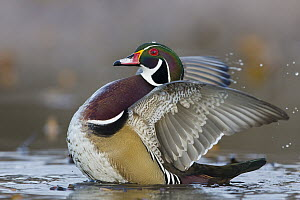 Wood Duck (Aix sponsa) drake stretching wings, central Montana  -  Donald M. Jones