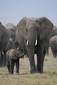 African Elephant (Loxodonta africana) mother and calf, Amboseli National Park, Kenya - Hiroya Minakuchi
