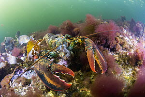 American Lobster (Homarus americanus) feeding on sea urchin, Bonne Bay, Newfoundland, Canada - Scott Leslie