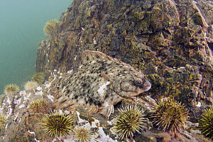 Winter Flounder (Pleuronectes americanus) camouflaged among Green Sea Urchins (Strongylocentrotus droebachiensis) barren, Passamaquoddy Bay, Maine  -  Scott Leslie