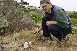 White-crowned Sparrow (Zonotrichia leucophrys) biologist, David Luther, using decoy and playback to study territorial responses to certain dialects of calls, Lobos Dunes, Presidio, San Francisco, Bay... - Sebastian Kennerknecht