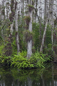 Bald Cypress (Taxodium distichum) trees in swamp with epiphytes and ferns, Everglades National Park, Florida  -  Ingo Arndt