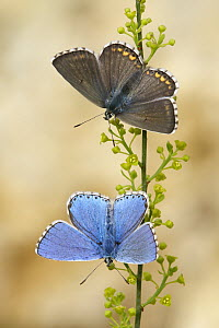 Adonis Blue (Lysandra bellargus) blue male with brown female, France  -  Silvia Reiche