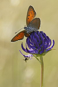 Purple-edged Copper (Lycaena hippothoe) butterfly, Germany  -  Silvia Reiche