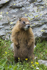 Yellow-bellied Marmot (Marmota flaviventris), Yankee Boy Basin, Uncompahgre National Forest, Colorado  -  Jeff Foott