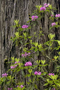 Pacific Rhododendron (Rhododendron macrophyllum) flowering in old growth Coast Redwood (Sequoia sempervirens) forest, Redwood National Park, California  -  Jeff Foott