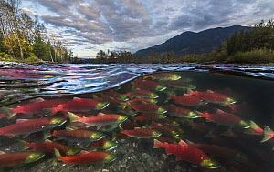 Sockeye Salmon (Oncorhynchus nerka) group migrating upstream, Adams River, Roderick Haig-Brown Provincial Park, British Columbia, Canada - Yva Momatiuk & John Eastcott