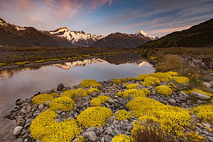 Forget-me-not (Myosotis sp) flowers and high clouds at dawn with Mt. Sefton (left) and Aoraki reflected in the Tasman River Valley, Mount Cook National Park, South Island, New Zealand  -  Colin Monteath/ Hedgehog House