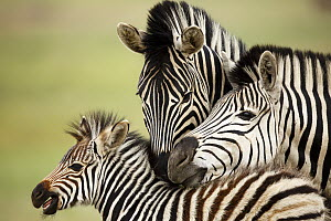 Burchell's Zebra (Equus burchellii) parents tending to foal, Rietvlei Nature Reserve, South Africa  -  Richard Du Toit