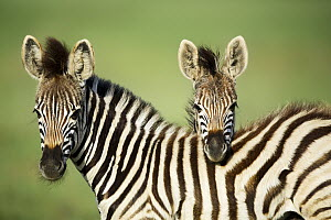 Burchell's Zebra (Equus burchellii) foals, Rietvlei Nature Reserve, South Africa  -  Richard Du Toit