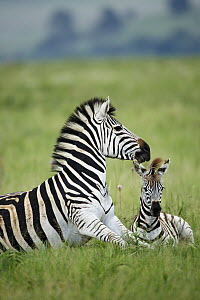 Burchell's Zebra (Equus burchellii) mother and foal, Rietvlei Nature Reserve, South Africa  -  Richard Du Toit