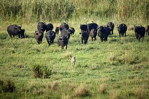 Cape Buffalo (Syncerus caffer) herd chasing away Cheetah (Acinonyx jubatus), Rietvlei Nature Reserve, South Africa  -  Richard Du Toit