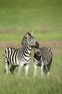 Burchell's Zebra (Equus burchellii) females nuzzling, Rietvlei Nature Reserve, South Africa  -  Richard Du Toit