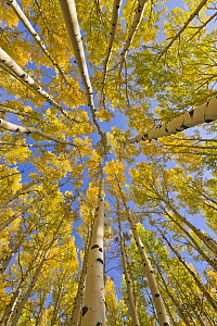 Quaking Aspen (Populus tremuloides) trees in autumn, Utah - Yva Momatiuk & John Eastcott