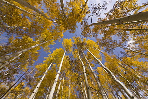 Quaking Aspen (Populus tremuloides) trees in autumn, Rocky Mountains, Colorado - Yva Momatiuk & John Eastcott