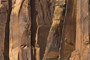 Climber climbing rock, Indian Creek, Utah - Yva Momatiuk & John Eastcott