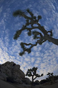 Joshua Tree (Yucca brevifolia) group at night, Joshua Tree National Park, California - Yva Momatiuk & John Eastcott