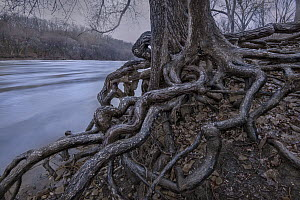 Gnarled tree roots, Mississippi River, Minnesota - Jim Brandenburg