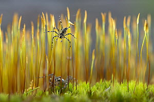 Fishing Spider (Pisauridae) pair on moss, Minnesota - Jim Brandenburg
